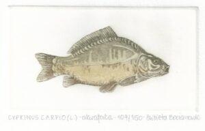 Cyprinus Carpio 5_5x10